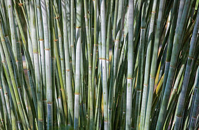 Photograph - Blue Bamboo by Rich Franco