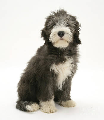 Photograph - Blue Bearded Collie Pup by Mark Taylor