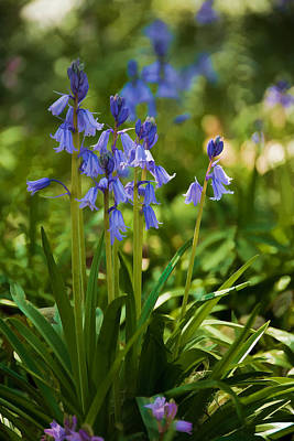 Photograph - Blue Bell Beauty by Penny Lisowski