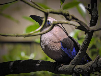 Photograph - Blue-bellied Roller by Penny Lisowski