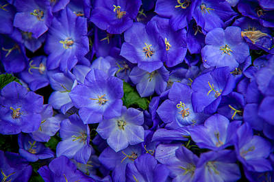 Lilac Time Photograph - Blue Bells Carpet. Amsterdam Floral Market by Jenny Rainbow