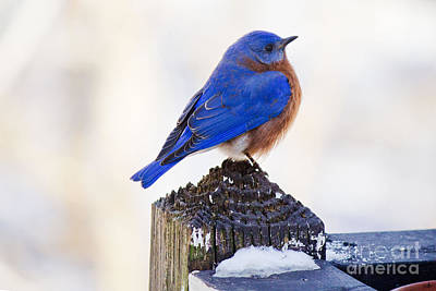 Photograph - Blue Bird 1 by Sandra Clark