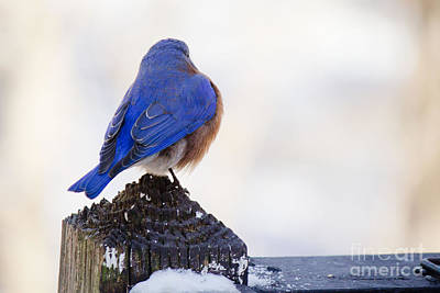 Photograph - Blue Bird 2 by Sandra Clark
