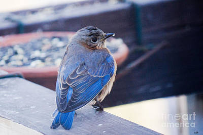 Animals Royalty-Free and Rights-Managed Images - Blue Bird 3 by Sandra Clark