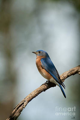 Photograph - Blue Bird- 6 by Sandra Clark