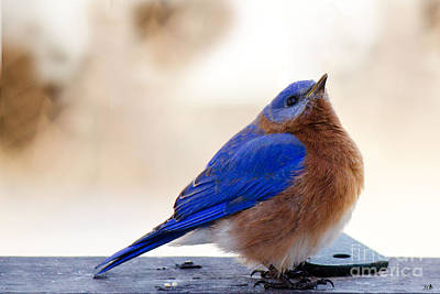 Animals Royalty-Free and Rights-Managed Images - Blue Bird Looking Up by Sandra Clark