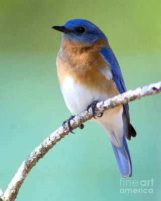 Photograph - Blue Bird Portrait by Jane Axman