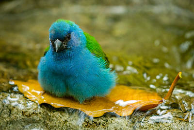 Photograph - Blue Bird Taking Bath by Celso Diniz