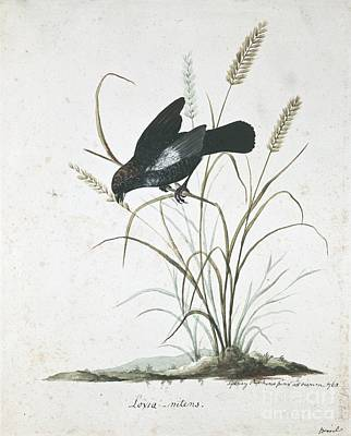 Blue-black Grassquit, 18th Century Art Print by Natural History Museum, London