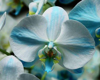Blue Bow Orchid Art Print by William Dey