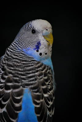 Blue Budgie Parakeet Art Print by Nathan Abbott