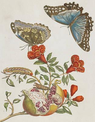 Caterpillar Wall Art - Painting - Blue Butterflies And Pomegranate by Maria Sibylla Graff Merian