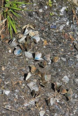 Congregation Photograph - Blue Butterflies Feeding On Minerals by Ashley Cooper