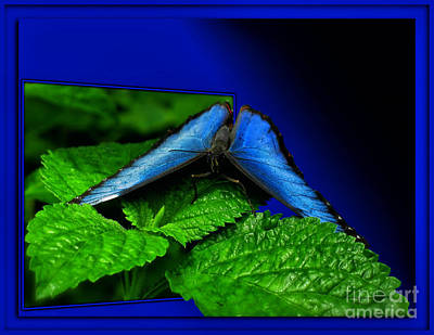 Blue Butterfly 02 Print by Thomas Woolworth