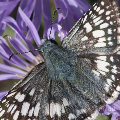 Photograph - Blue Butterfly by Chris Scroggins