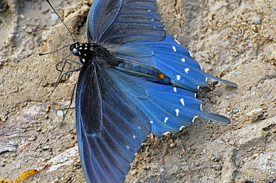 Photograph - Blue Butterfly by Helen Haw