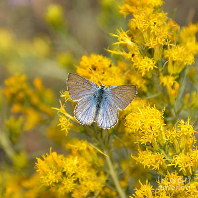 Photograph - Blue Butterfly In Yellowstone by Debra Thompson