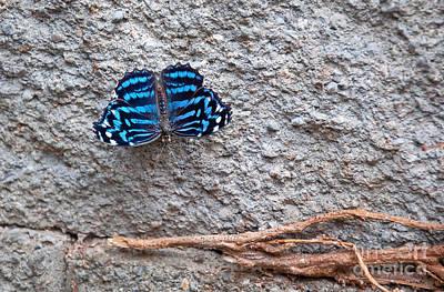 Blue Butterfly Myscelia Ethusa Art Prints Art Print