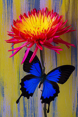 Beautiful Butterfly Photograph - Blue Butterfly On Fire Mum by Garry Gay