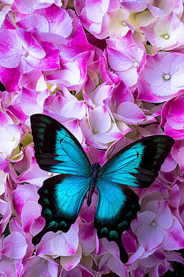 Butterfly Photograph - Blue Butterfly On Pink Hydrangea by Garry Gay