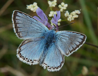 Art Print featuring the digital art Blue Butterfly by Ron Harpham