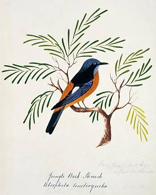 Thrush Wall Art - Photograph - Blue-capped Rock Thrush by Natural History Museum, London/science Photo Library