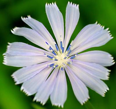 Blue Chicory Art Print