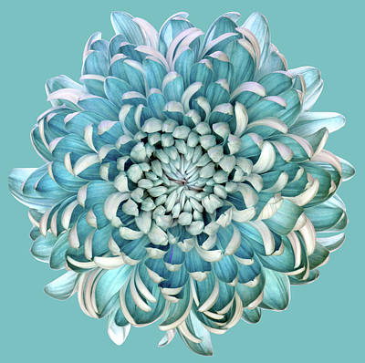 Blue Floral Photograph - Blue Chrysanth by Brian Haslam