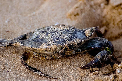 Photograph - Blue Claw Crab by Karen Kersey