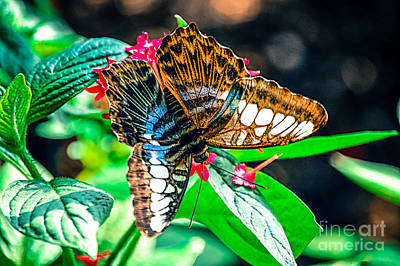 Photograph - Blue Clipper Butterfly by Peggy Franz