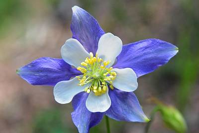 Photograph - Blue Columbine - State Flower Of Colorado by Marilyn Burton