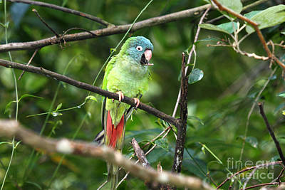 Parakeet Photograph - Blue Crowned Parakeet by James Brunker