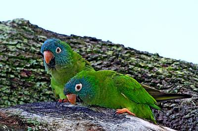 Photograph - Blue-crowned Parakeet Pair by Ira Runyan