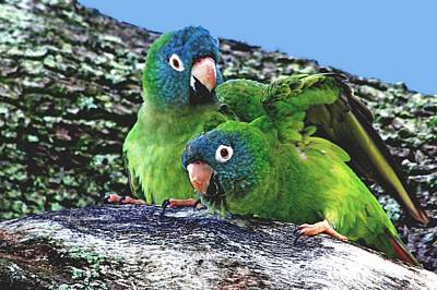 Photograph - Blue Crowned Parakeets by Ira Runyan