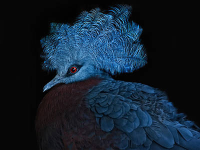 Pigeon Photograph - Blue Crowned Pigeon by Joachim G Pinkawa