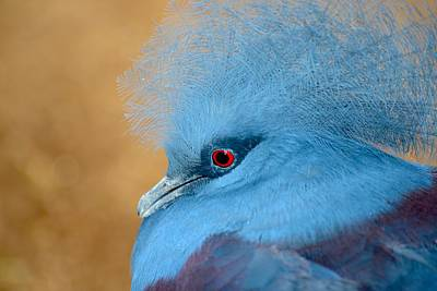 Photograph - Blue Crowned Pigeon by T C Brown
