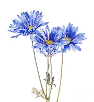 Blue Daisies On White Art Print by Vishwanath Bhat