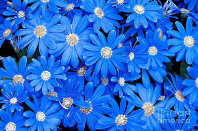 Blossoms Photograph - Blue Daisies by Oscar Gutierrez