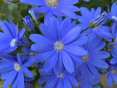 Photograph - Blue Daisies by Richard Reeve