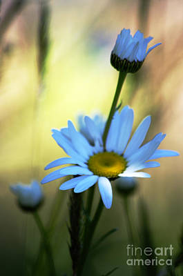 Photograph - Blue Daisy by Adria Trail
