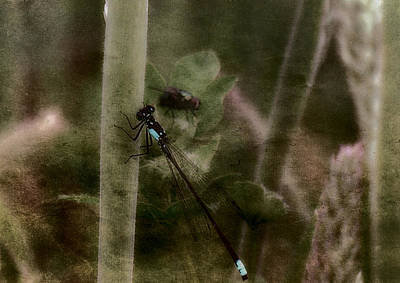 Housefly Wall Art - Photograph - Blue Damselfly And Guest by Bonnie Bruno
