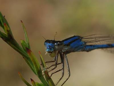 Photograph - Blue Damselfly by Billy  Griffis Jr