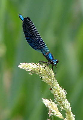 Photograph - Blue Damselfly by Ramona Johnston