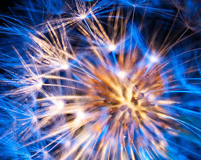 Photograph - Blue Dandelion Up Close by Todd Soderstrom