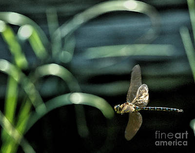 Photograph - Blue Darner Dragonfly And Reeds by Belinda Greb