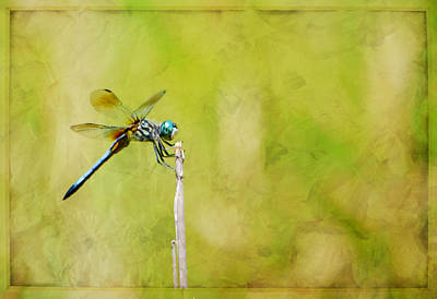 Photograph - Blue Dasher by Deena Stoddard