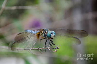Photograph - Blue Dasher Dragonfly by Donna Brown