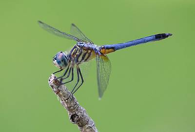 Blue Dasher Dragonfly Art Print by Ester  Rogers