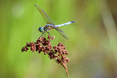 Photograph - Blue Dasher Dragonfly by Jeanne May