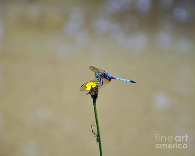 Blue Dragon Fly Photograph - Blue Dasher Male by Al Powell Photography USA